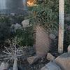 Multiheaded Pachypodium Namaquanum -