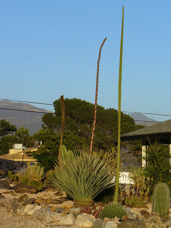 Front yard - Agave Victoria Regina flowering - along with Dasylirion Wheeleri and a Kelly Griffen agave hybrid in the background.