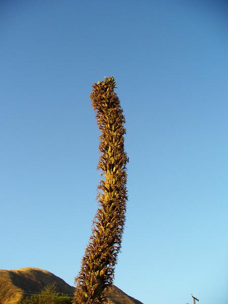 Flower stalk - agave hybrid