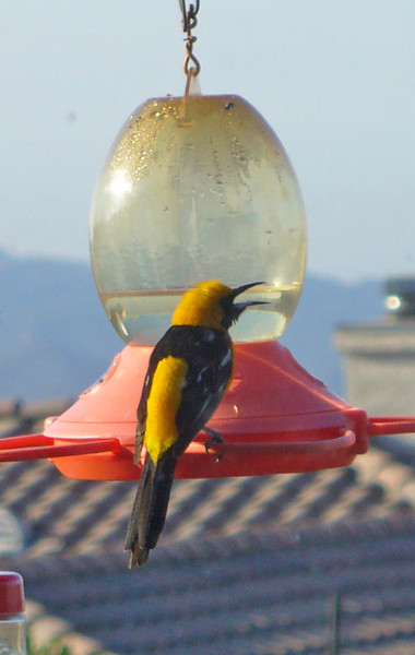 Male Oriole at our feeder on a hot summer day