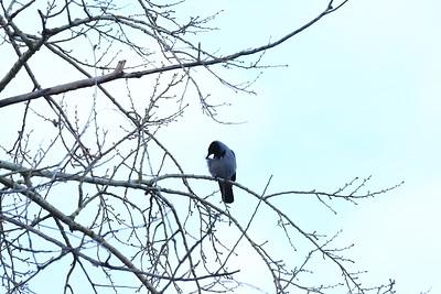 Grey Crow — Dolmányos varjú
