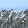 Frost-bited Flowers of Reed — Dércsípte nádvirágok