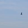 Black-headed Gull — Dankasirály