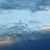 Morning Flight of the Cormorants — A kormoránok hajnali röpte