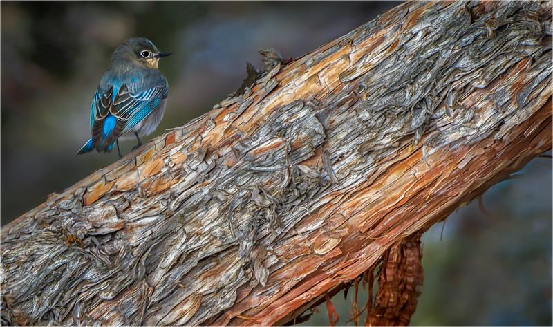 Mountain Bluebird and Juniper 1