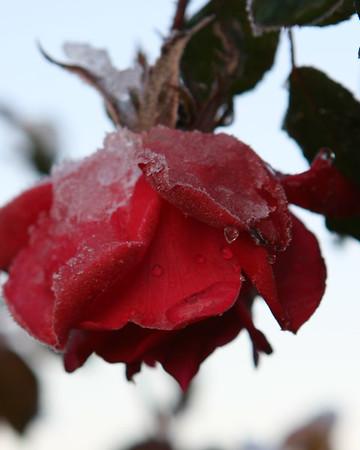 Snow Rose 2009