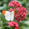 Orange Tip (Asia) - June 18, 2012