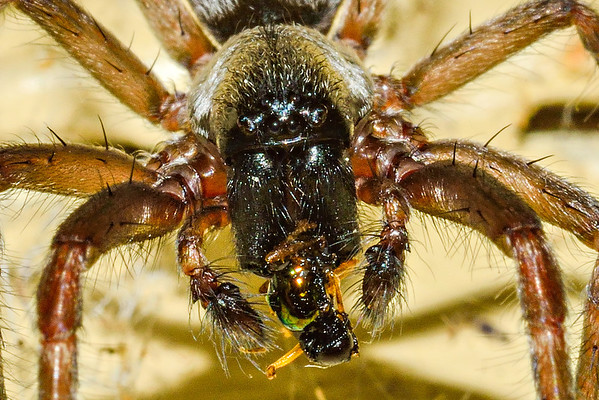 Grey house spider (Badumna longinqua) consuming its meal. Opoho, Dunedin.