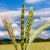 Aks av høstkorn