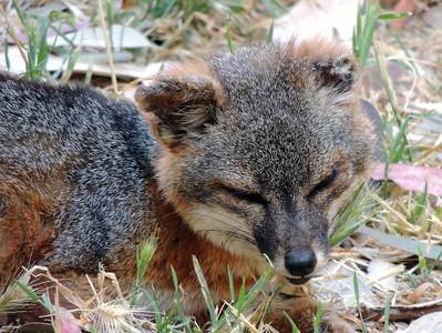 Island Fox   Channel Islands National Park