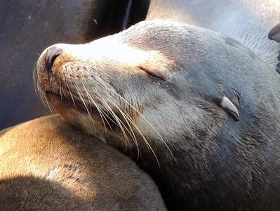 Sea Lion   Santa Cruz, CA