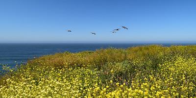 Pelicans in Flight   Pigeon Point, California