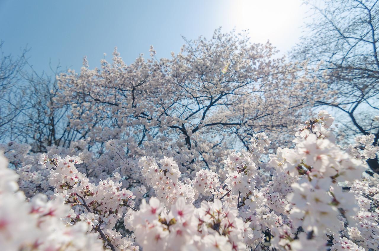 Sakura Big One