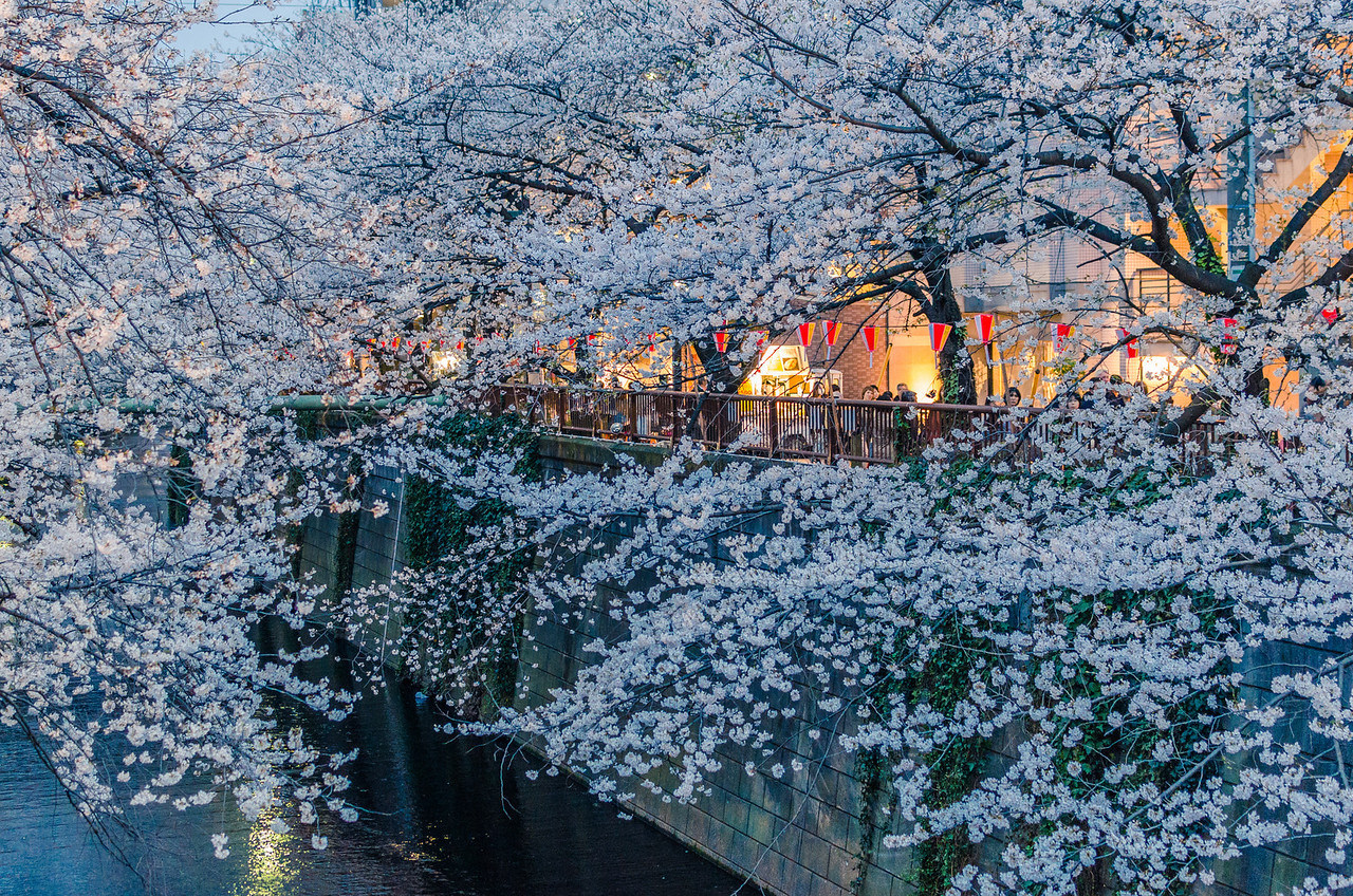 Matsuri Between The Blossoms