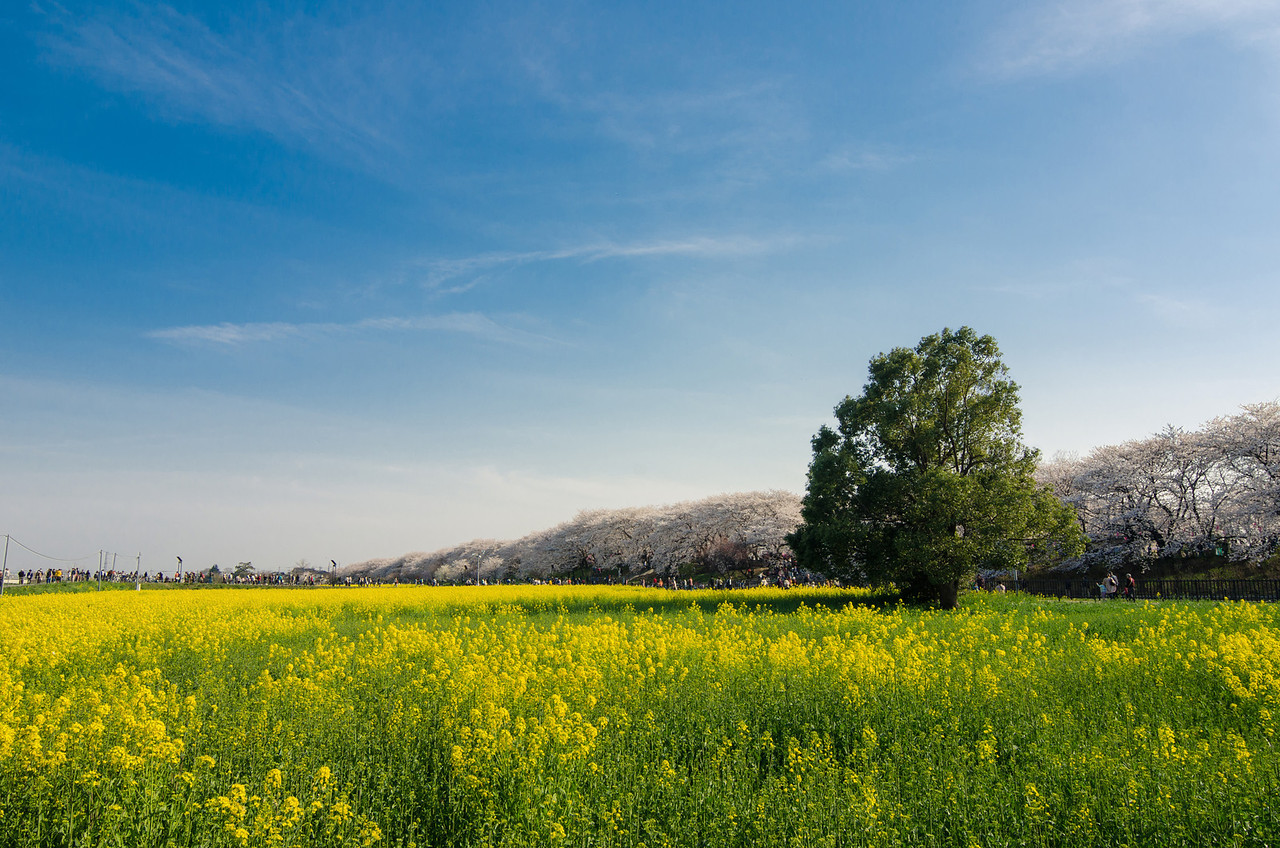 Yellow Flowers and Blue Skies in Satte