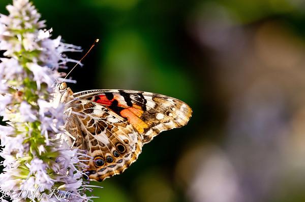 more_butterflies (54 of 66)