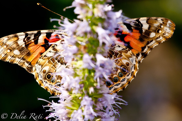 more_butterflies (55 of 66)
