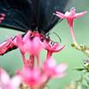 more_butterflies (24 of 66)
