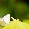 more_butterflies (16 of 66)