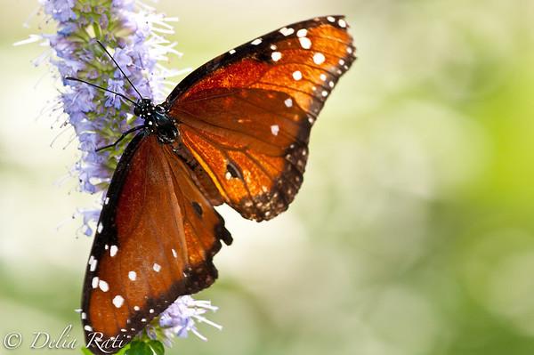 more_butterflies (58 of 66)