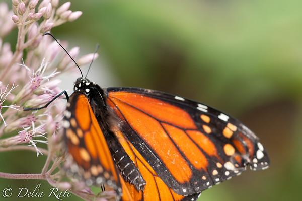 more_butterflies (39 of 66)
