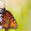 more_butterflies (57 of 66)