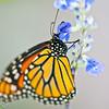 more_butterflies (20 of 66)