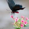 more_butterflies (22 of 66)