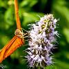 more_butterflies (53 of 66)