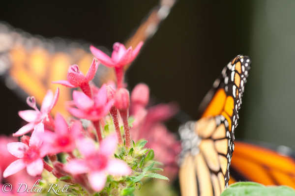 more_butterflies (1 of 66)