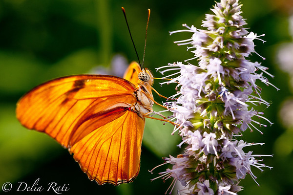 more_butterflies (51 of 66)