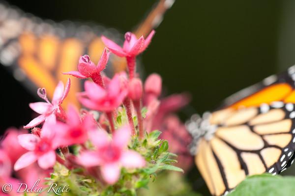 more_butterflies (2 of 66)