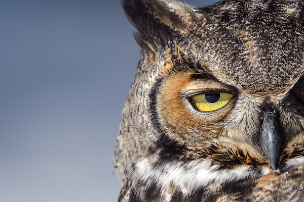 Great Horned Owl Portait