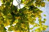 Bigleaf Linden Tree