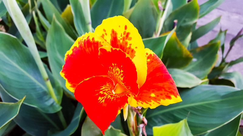 Flower, La Fortuna