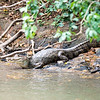 Cayman on the Rio Frio river in the Caño Negro Wildlife Refuge