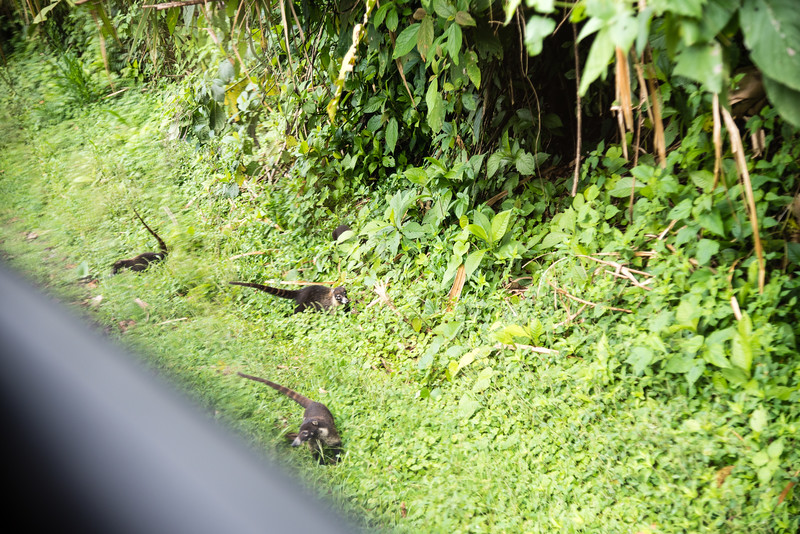 Coatimundis, or coatis waiting to be fed by the tourists