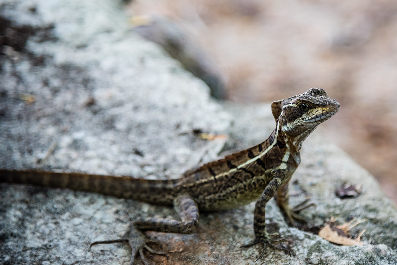 Lizzard in Manual Antonio National Park