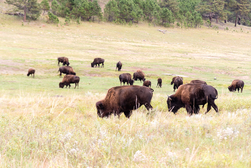 Bison in Custer State Park, SD