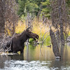 Moose at Schwabacher landing in Grand Teton NP