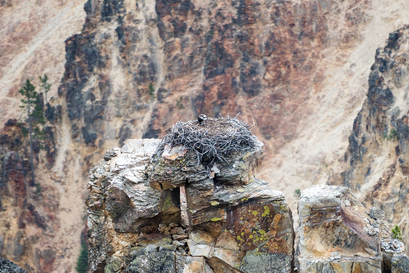 Lone osprey