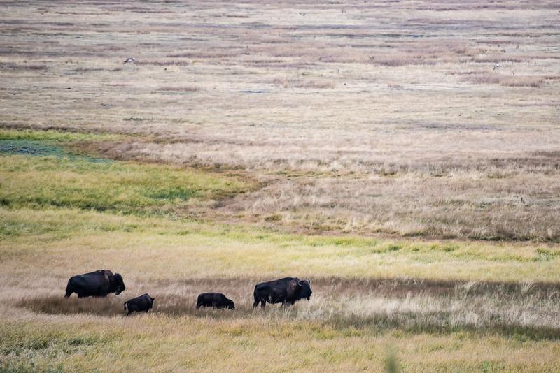 Bison grazing in Grand Teton.