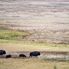 Bison grazing in Grand Teton.