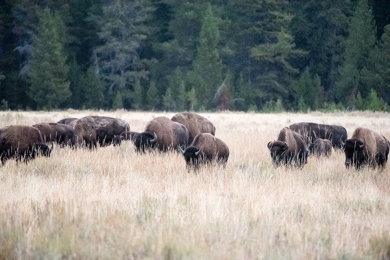 Heads down bison