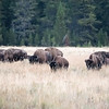 Heads down bison