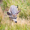 Muld deer with red antlers