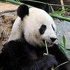Panda at Adelaide Zoo