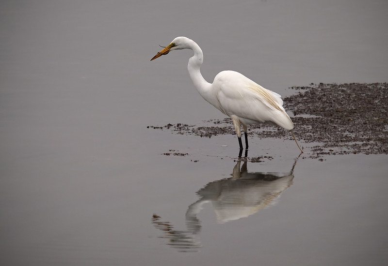 Great Egret and breakfast at Bolsa Chica Reserve - 4 July 2012