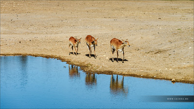 Family of deers near the lake in savanna, sunny day