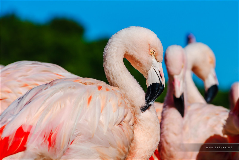 Seashore colony of birds, pink flamingos in Sigean safari park, France